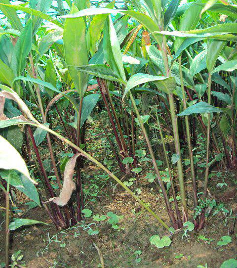 अलैँची खेतीमा किसान आकर्षण बढ्यो