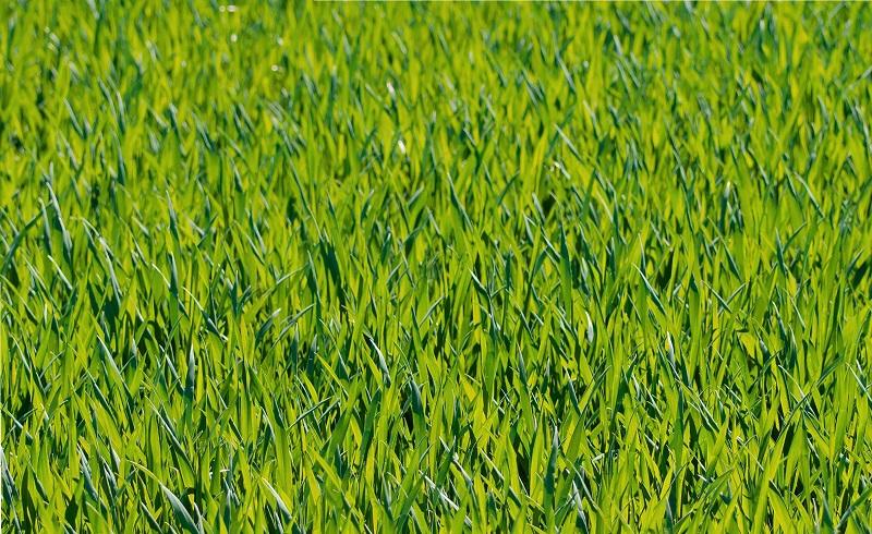 धानबालीमा रोगको प्रकोप देखिएपछि दाङका किसान चिन्तित