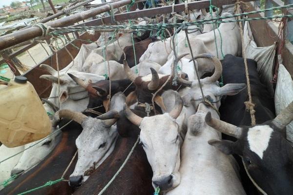 लोपोन्मुख नौमुठे गाई तस्करी