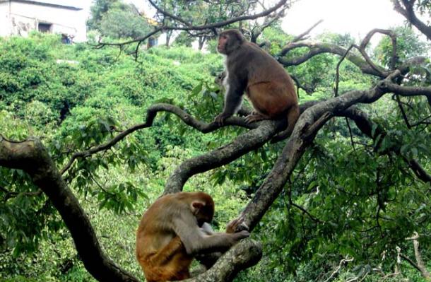 काठमाण्डौका पशुपतिका बाँदरले म्याग्दीका किसानलाई पारे हैरान
