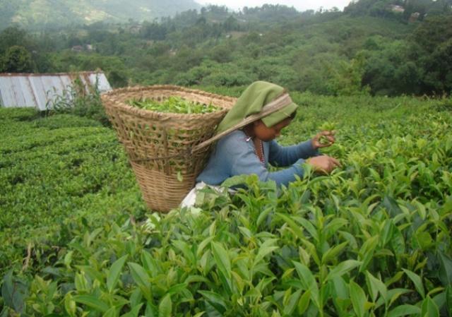चिया खेतीका लागि रु ७५ लाख