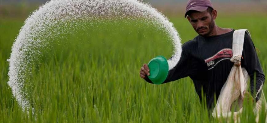 रासायनिक मल युरियालमको चरम अभाव भोग्दै कञ्चनपुरका किसान