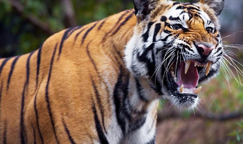 बाघ बचाउन च्यालेन्जै च्यालेन्ज