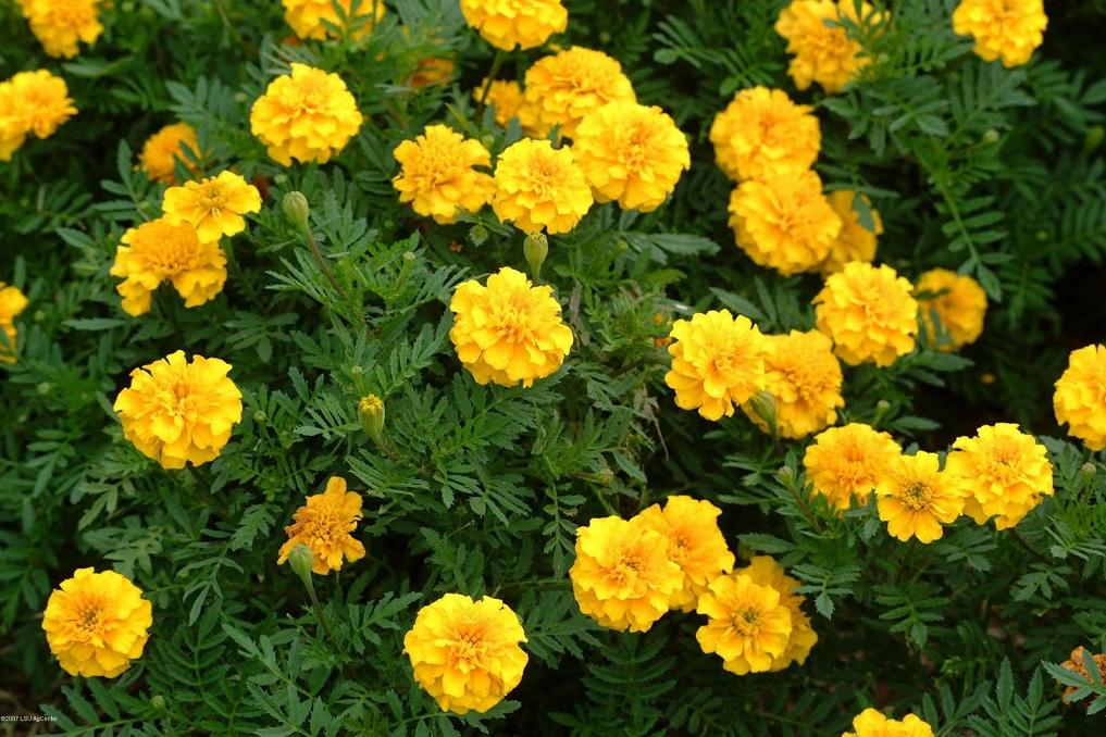 भारतीय फुलका कारण नेपालमा उत्पादित फूलको उचित मूल्य नपाएपछि किसान चिन्तित