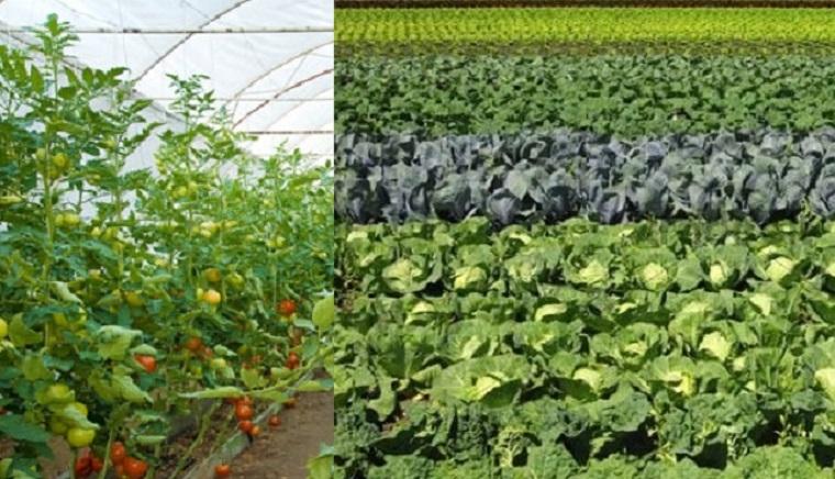 तरकारी खेतीमा जुकाको असर
