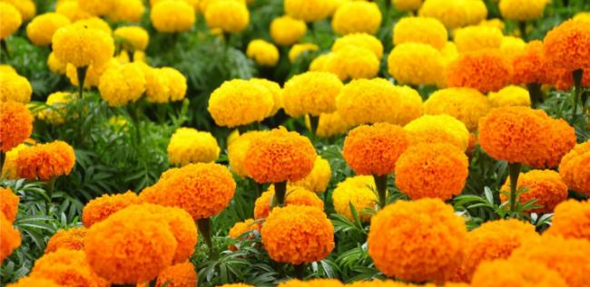 फूलखेतीबाट सन्तुष्ट व्यासायि दैनिक पाँच लाख सम्म आम्दानी