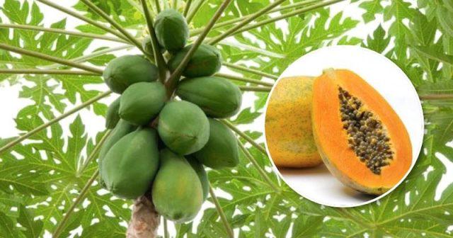 झापामा मेवाको व्यावसायिक खेती शुरु