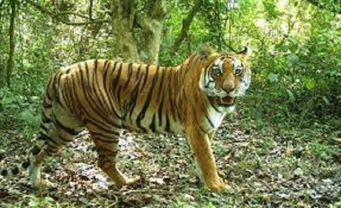 निकुञ्जमा बाघ बढे, आहारा बढेन