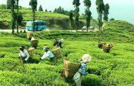 सक्छौ तोकिएको मूल्य देऊ, सक्दैनौ चिया फिर्ता देऊः चिया किसान