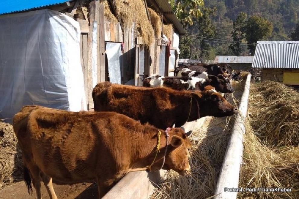 गौसंरक्षण केन्द्रका गाई व्यवस्थापनमा समस्या