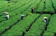 Farmers throw green tea leaves on highway in protest