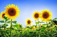 सूर्यमुखी खेतीबाट राम्रो उत्पादन भएपछि कृषक उत्साहित