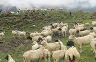 चरन क्षेत्र नहुँदा भेडा व्यवसायी समस्यामा
