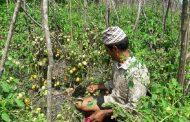 विदेशबाट रित्तो हात तरकारी खेतीबाट फलिफाप ५० वर्षीय हरिलालको जीवन