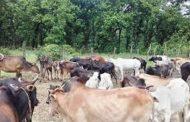 तराईमा गरियो बाढी प्रभावीत ५ सय वढि पशु चौपायको उपचार