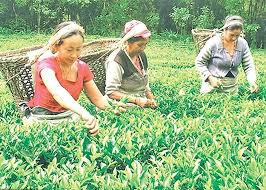 नेपाली चियाले पाएन बजारः  सडकमै पोखे किसानले हरियोपत्ती