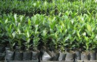 फलफूल नर्सरी फार्ममा वाढी पस्योः किबीको बिरुवा नष्टः एक करोड बराबरको क्षति