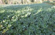 सत्र वर्ष विदेशमा काम गरी नेपाल फर्केर सामूहिक तरकारी खेती गर्दै