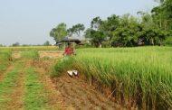 सोच जस्तो फलेन गरिमा धानः किसान चिन्तित