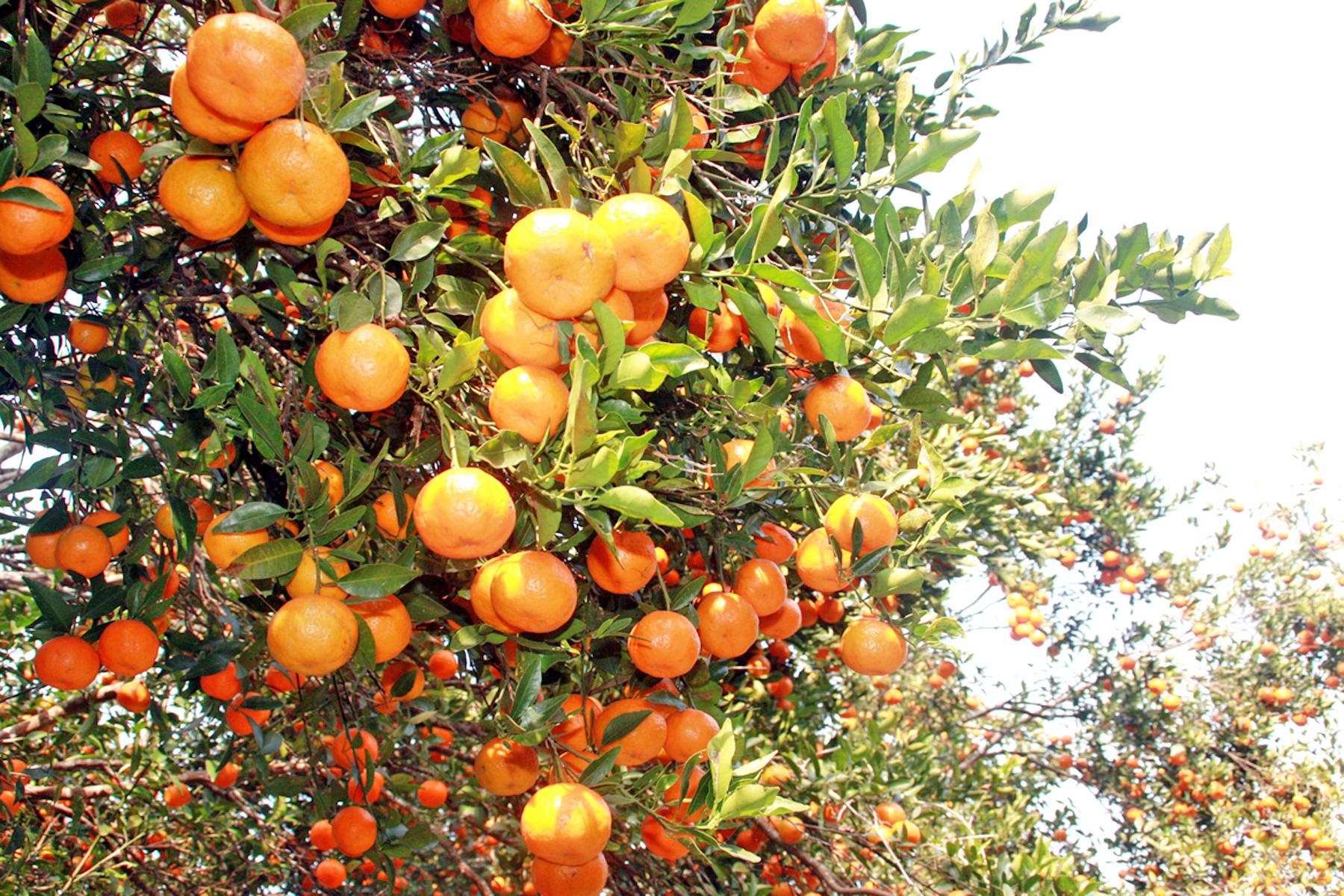 मासिँदै छ सुन्तलाः सरकारी क्षेत्रले चासो नदिँदा चिन्तित छन् किसान