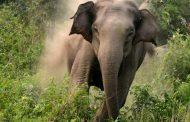 बर्दियामा जङ्गली हात्तीको आतङ्क, ४५ वर्षीय पुरूष घाइते