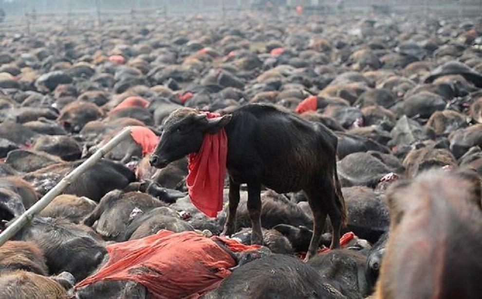 परम्पराको नाममा निर्दोष पशुको बलि दिइयो : पशु कल्याण सङ्घ