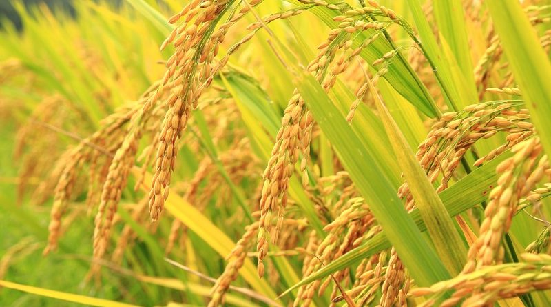 धानको समर्थन मूल्यले किसान लाभान्वित