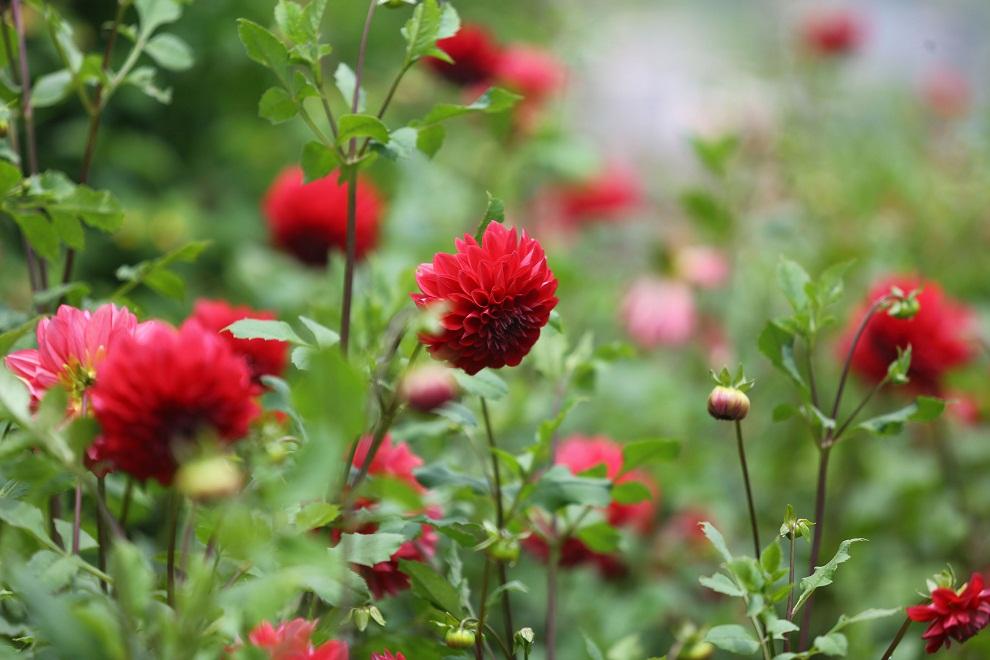 काठमाडौं र पोखराका विभिन्न स्थानमा फुलेका फूलहरु (तस्विरमा)